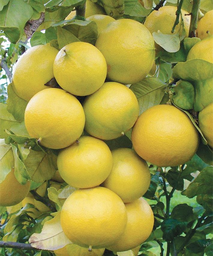 bergamotto-olio-profumato