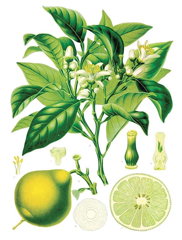 bergamotto-fiori-frutto