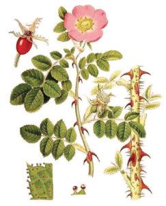 rosa-mosqueta-antieta