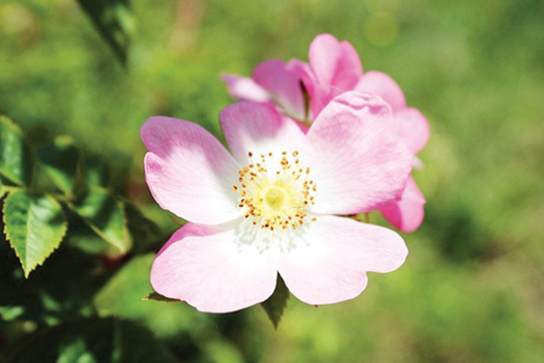 rosa-mosqueta-olio
