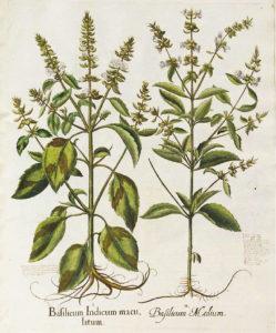basilico-olio-alimentare