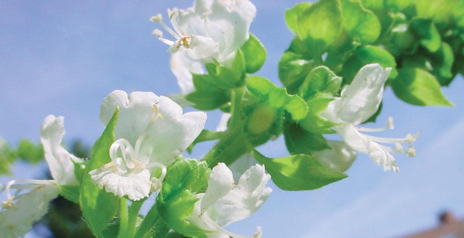 basilico-fiore
